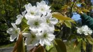 201404梨の花