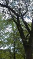2014鶴来樹木2