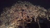 201504月夜桜