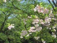 2015年4月27日樹木松月IMG_1799