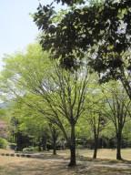 2015年4月27日樹木1IMG_1800